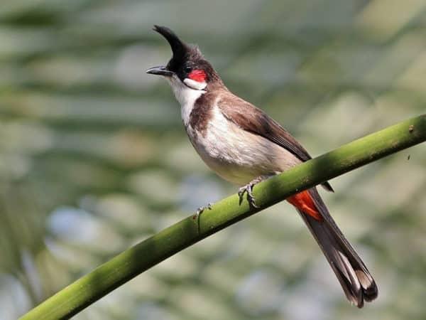 Mơ thấy chim chào mào điềm báo điều gì?